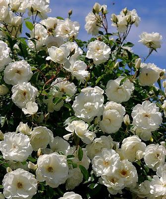 Просмотров.  Этот сорт плетистых роз относится к группе Рэмблер (Rambler).  Это однократно. admin.