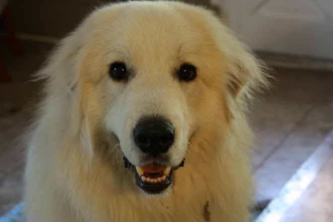 Marley the Great (Pyrenees)