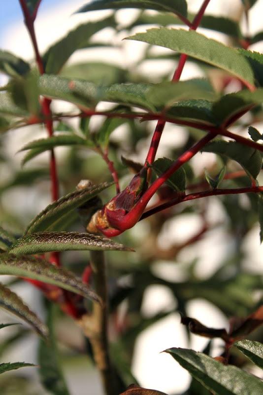 Carmencita - tangoälskande rönnbärsträd
