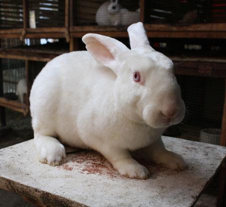 Torosso Rabbit Shop: Foto-Foto Kelinci REX
