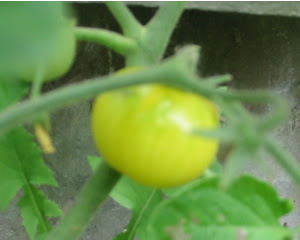 A ripening yellow cherry tomato