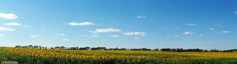 [sunflowerspanoramic.jpg]
