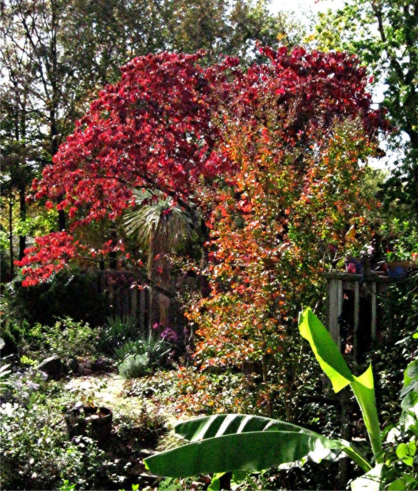 1003 Gardens: Cornus florida, Flowering dogwood, fall color......wow