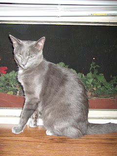 How Much Do Russian Blue Cats Shed