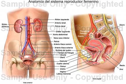 QUIZ VIRTUAL SISTEMA REPRODUCTOR FEMENINO, MASCULINO Y ALGUNAS ...