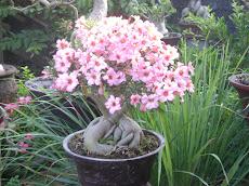 Angkor Adenium Bonsai