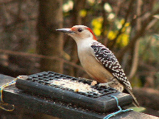 Red-bellied Woodpecker in Tallahassee
