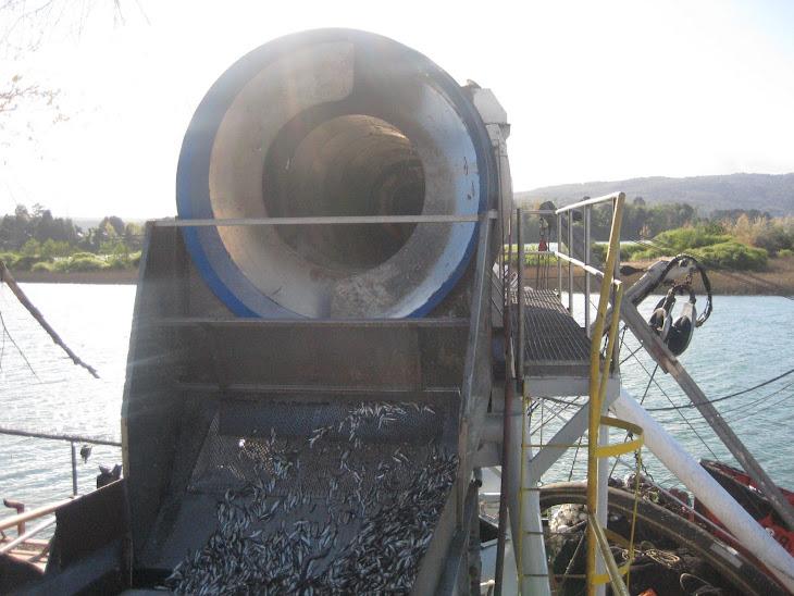 Cargando sardinas del barco Constitución a un camión de la empresa Camanchaca