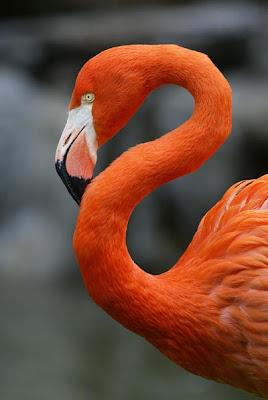 O Flamingo EstГЎ Em Extinção O que você est&#2...