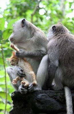 Monkeys Kidnapped a Kute Kitten