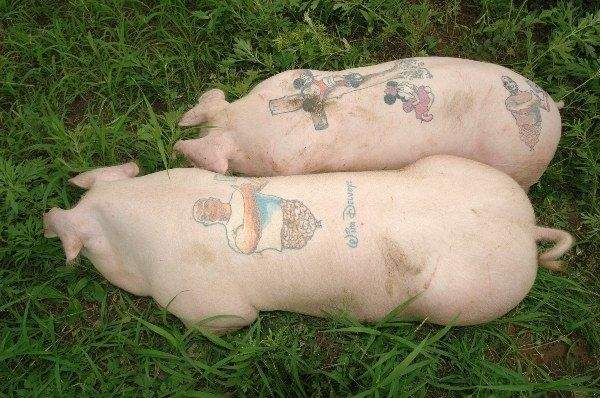 Tattoos on Pigs