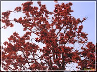 Palash flowers in Salt Lake