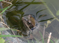 A frog in the new pond