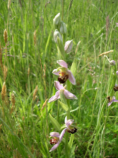 A Bee Orchid