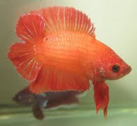 betta fish double tail