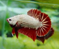betta fish plakat halfmoon