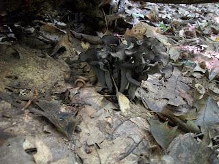 Black Trumpet Mushroom Bouquet