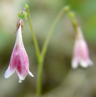 Twinflowers, photo by Robin Atkins