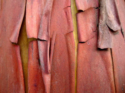 Pacific Madrone, madrona, fracturing bark