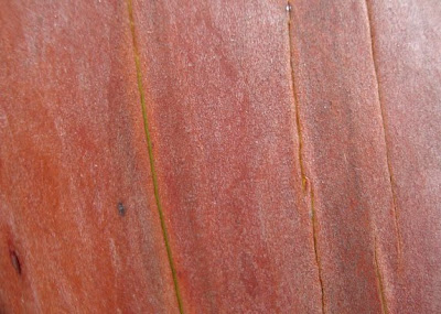 Pacific Madrone, madrona trees red orange bark