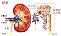 腎臓とネフロン