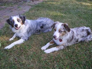 our miniature Australian shepherds