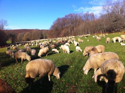 Sheep farm in Germany
