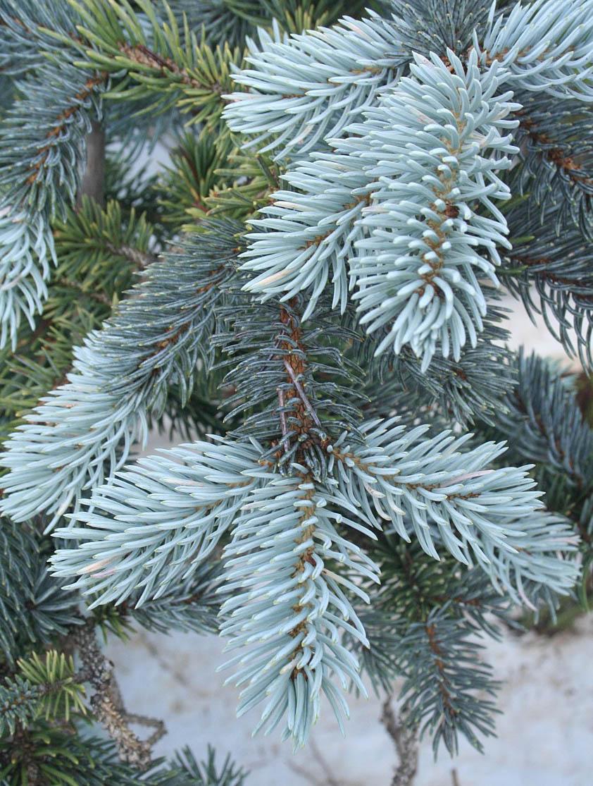 Decorative Blue Spruce : Baldwin nurseries perennials shrubs trees for nova