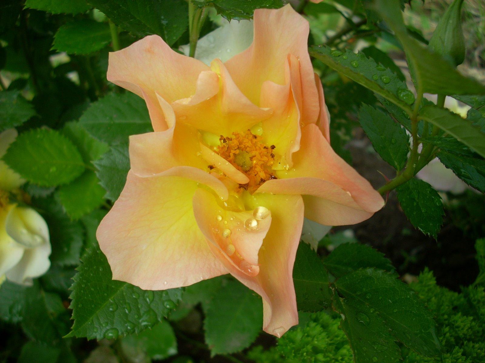 playboy rose