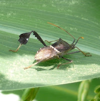 Leaf-footed Bug on corn © Tyler Storey