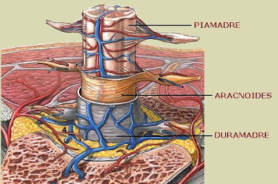 Meninges espinales