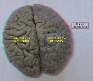 el cerebro presenta hendiduras profundas llamadas cisuras o fisuras. La mayor de ellas es la cisura longitudinal o interhemisférica, que divide al telencéfalo en dos hemisferios, uno derecho y otro izquierdo.
