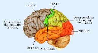 Regiones motoras y sensitivas de la corteza cerebral