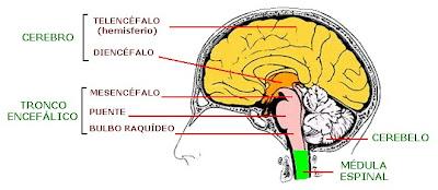 Estructura interna del encéfalo