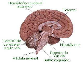Tal como sucede con el cerebro, la materia gris se ubica en la corteza cerebelosa, mientras que la materia blanca se aloja en la parte interna adoptando una forma similar a las ramas de un árbol. En esta zona hay núcleos de sustancia gris.