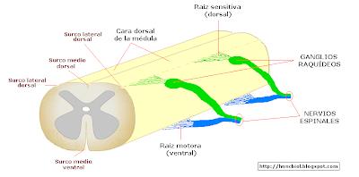 Estructura externa de la médula espinal