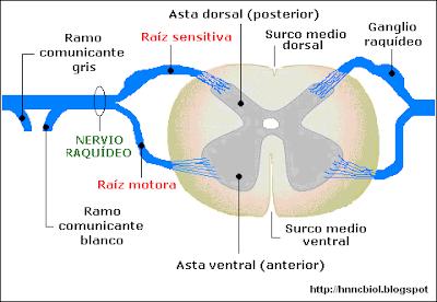 raíz nerviosa y sensitiva de un nervio raquídeo