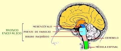 tronco encefálico