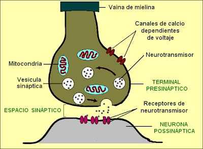Esquema de una sinapsis interneuronal