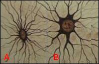 Astrocito fibroso (A) y protoplasmático (B)