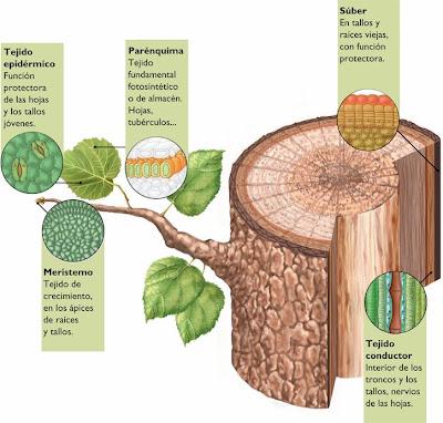 encargadas de segregar sustancias como la resina de los pinos
