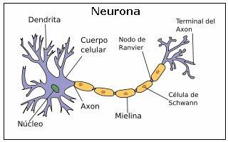 neurona, célula nerviosa
