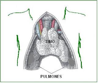ubicación del timo