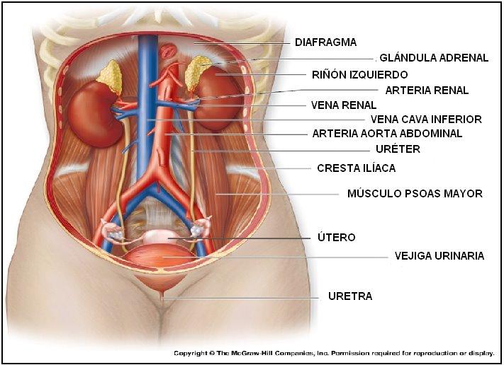 Bonito órganos Del Cuerpo Femenino Humanos Elaboración - Anatomía de ...