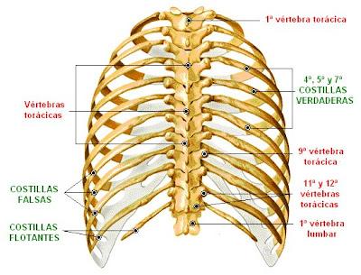 Caja torácica (vista dorsal)