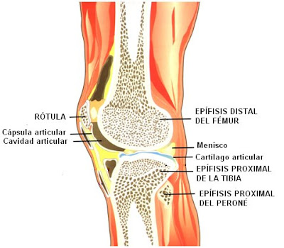 huesos que conforman la articulación de la rodilla con sus respectivas estructuras