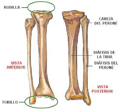 Huesos de la pierna derecha