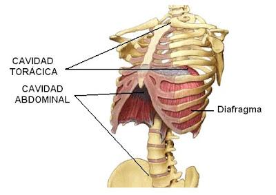 cavidades torácica y abdominal