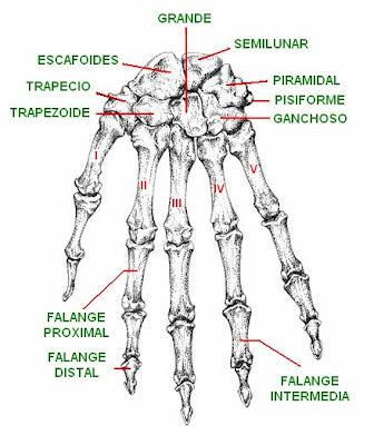 Vista dorsal de la mano