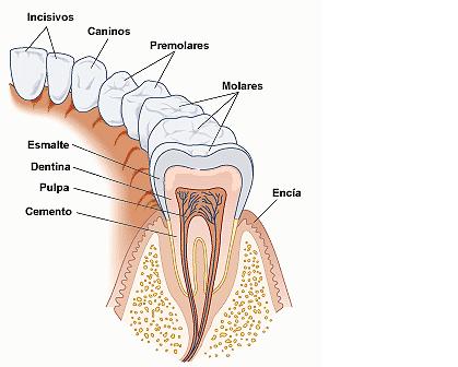 Anatonomia y Fisiologia Dental : ANATOMIA Y FISIOLOGIA DEL SISTEMA ...